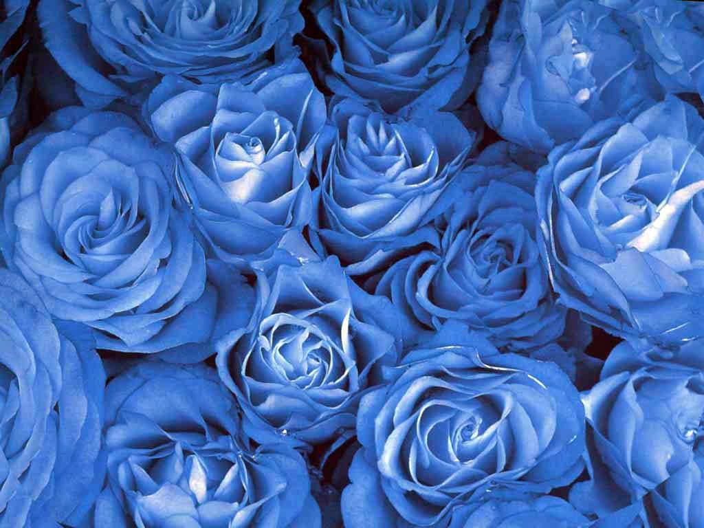 Роза плетистая павлиний глаз 1