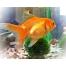 ИНФОРМАЦИЯ О ГАЛЕРЕЕ Золотая рыбка картинки для детей.